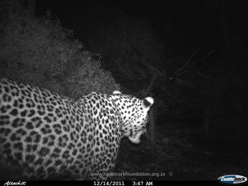 web_leopard3